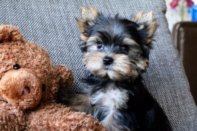 Learn More About Our Available Certified Yorkie Puppies In San Francisco Teacup Yorkie Puppies Teacup Yorkie Puppy Teacup Yorkie Puppy Yorkie Puppy For Sale