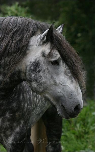 Dappled gray Percheron (a draft horse that originated in western France, usually gray or black.)