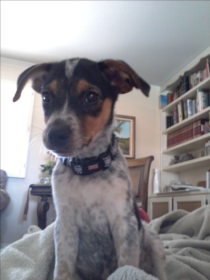 Our sweet Goulet. Blue heeler Jack Russell mix