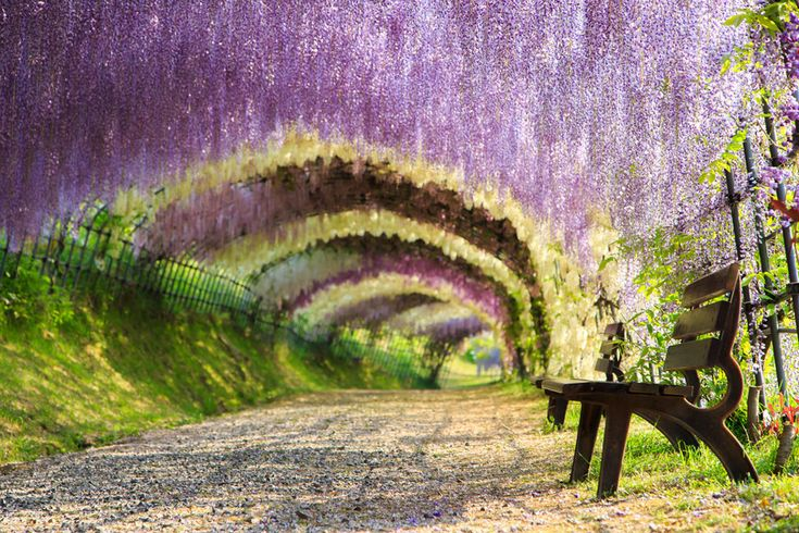 Wisteria Tunnel, Japan. This breathtaking scenery of gorgeous flowers can be found at the Kawachi Fuji Garden in Kitakyushu, Japan. The best time to walk through the tunnel is late April to mid-May. If a stroll through here doesn't make you feel like you're in a Disney movie, nothing will.