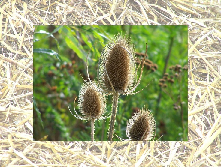 Calendar pix - November 2013 Teasels are popular with seed-eating small birds.