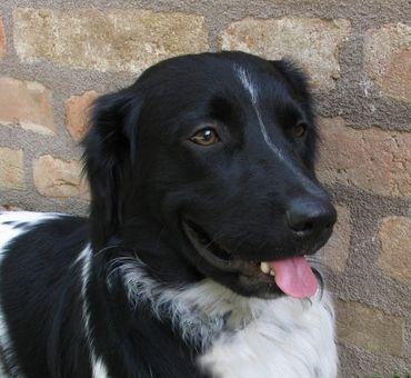 Стабихун нидерландский – описание породы, происхождение, темперамент. Фотографии собак породы стабихун нидерландский.