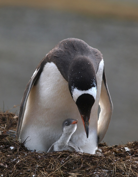 instinctAnimal Pictures, Animal Antics, Animal Kingdom, Animal Penguins, Birds Friends, Baby Animal, Beautiful Nature, Feathers Creatures, Feathers Friends