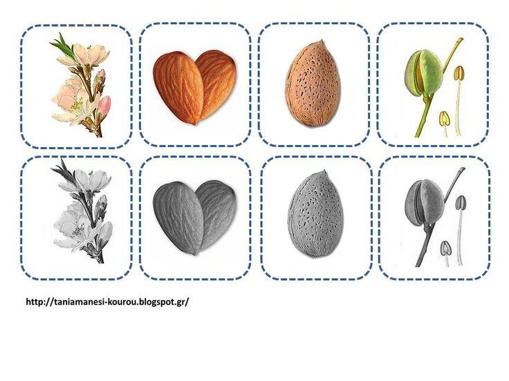 """Δραστηριότητες, παιδαγωγικό και εποπτικό υλικό για το Νηπιαγωγείο: Η αμυγδαλιά στο Νηπιαγωγείο: Κάρτες ακολουθίας """"από τον ανθό στον καρπό"""""""