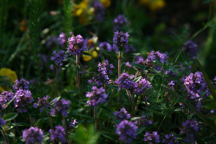 Thymus marschallianus - Thyme
