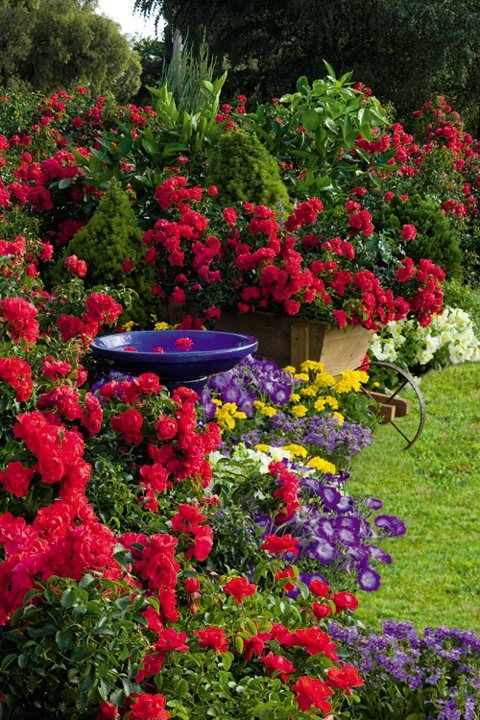Flower Carpet Scarlet Rose in cottage garden = beautiful colors and landscaping