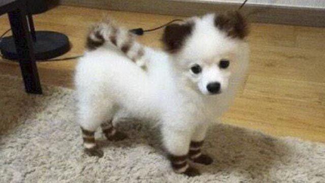 7 Delightful pictures of Pomskies (Husky+Pomeranian) - Husky Lovers