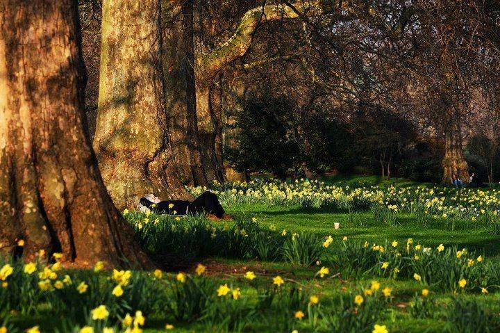 Kensington Gardens, London in Spring: Kensington Gardens, London, Spring Enough, Gardens Magic, Daffodils