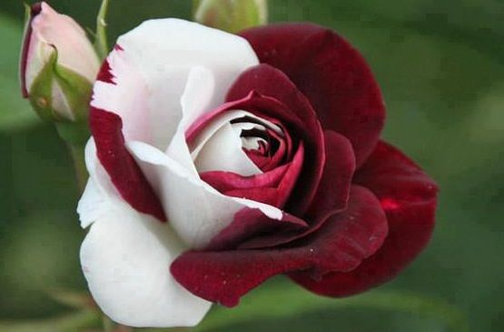 I Love the Red and White Rose (Unity).  I want them in our bedroom when we make love on our honeymoon, with the petals strewn over the bed and on the floor. <3