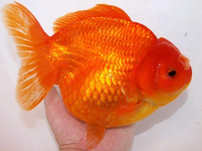 Oranda Gold Fish 25