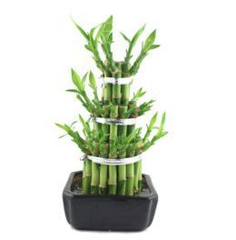Lucky Bamboo Plant: Indoor Bamboo Plant Meaning and Care