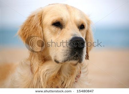 Golden at the beach