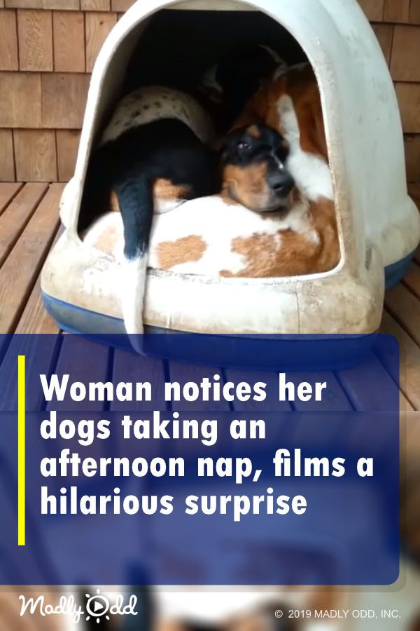 Pets Can Get Up To Some Crazy Antics And This Often Provides Us With Badly Needed Comic Relief As You Might Imagine Having Five Basset Hounds Funny Animal Videos Pets Funny