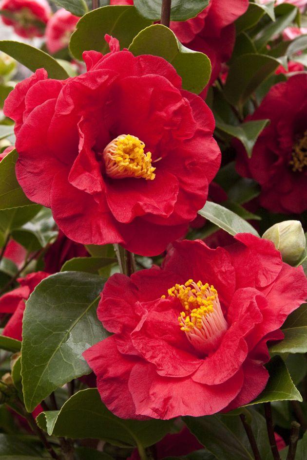 CamelliA JAPONICA AOYAMA   Camellia on Pinterest   Plants, Evergreen Shrubs and New Zealand