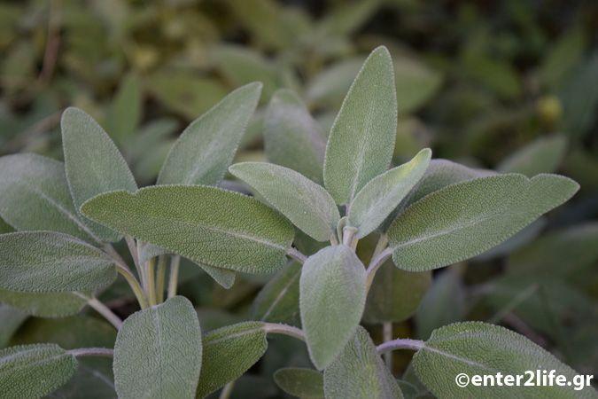 Βότανα και φυτά για την αντιμετώπιση του βήχα και του κρυολογήματος – enter2life.gr