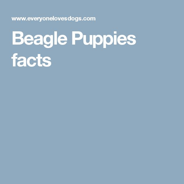 Beagle Puppies facts