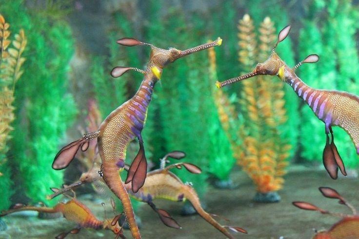 Sea dragons at Seahorse World. #Tasmania