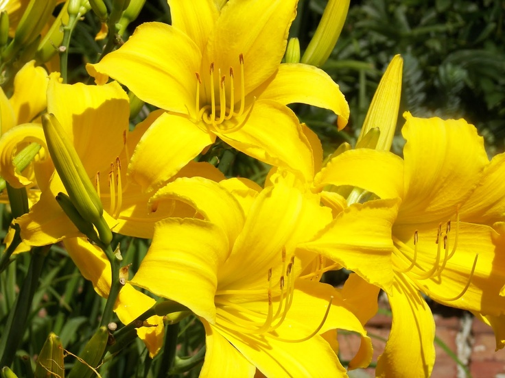 131 best gardening flowers perennials images by becky carpenter the scientific name of the daylily hemerocallis is derived from two greek words meaning mightylinksfo