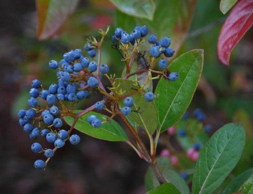 Winterthur Viburnum Colorful BerriesFlowering Shrub ** Find out more about the great product at the image link.