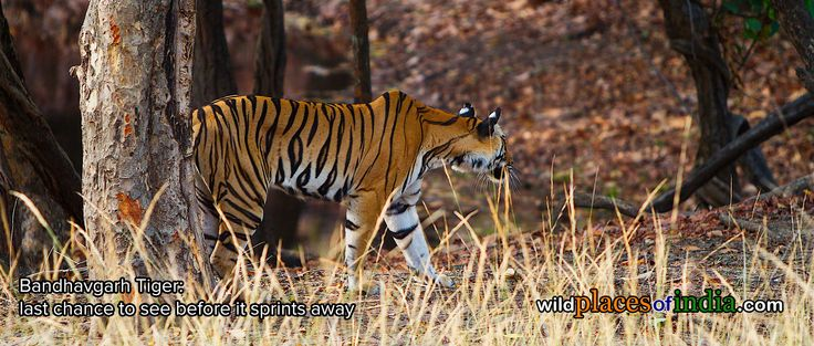 Last chance to see the Tiger this season. Hurry. http://wildplacesofindia.com/bandhavgarh-national-park.html