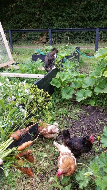 Høns og kat i haven ❤