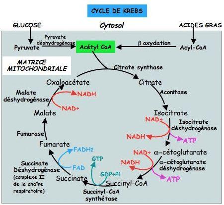 Mnémoniques: Le cycle de Krebs