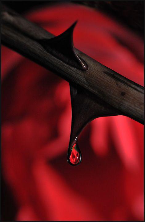 mlsg:  elle699:  L'épine et la goute ne font qu'un…,pour un instant bien précis.  Tears of pain
