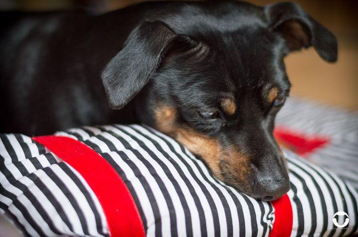 [©Melody M. Bayer   www.buddyandme.de] Pinscher Buddy, Buddy and Me, Hundeblog, Dogblog, Produkttest, Produktvorstellung, Erfahrungen, Testbericht, My Lumpi, Lieblingsdecke, Berlin, Gr. M, Hundedecke, bio, ökologisch, hochwertig, schwarz weiß rot, Wolle, Baumwolle, Hund, Hundebett, Kuscheldecke, unterwegs, Rabatt, Gutscheincode, Sparen