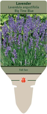 Lavender, Lavandula angustifolia 'Big Time Blue' from Netherland Bulb Company - This English lavender blooms much earlier than its relatives, and the blooms are larger than average. Blooms grow up to 4 inches long on compact foliage. Grow at 48-60°F in high light levels. Keep on the dry side till new sprouts appear then evenly moist. Allow to dry between watering with good air circulation to avoid wet foliage which causes disease. Once actively growing apply a light fertilizer.