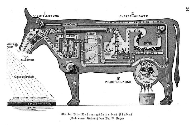 Die Nahrungskette des Rindes (Nach einem Entwurf von Fritz Kahn)