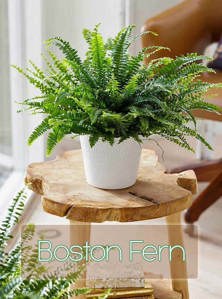 The Boston Fern is readily available, relatively cheap and is a great starter fern if you enjoy the lush green foliage and the feelings of peaceful tranquility they seem to evoke in people. It's also one of the top rated plants for removing air pollutants from the air...