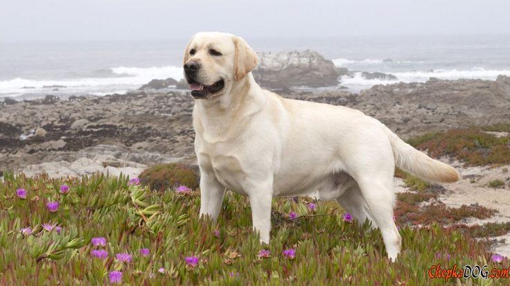 Extravagante Labrador Raza