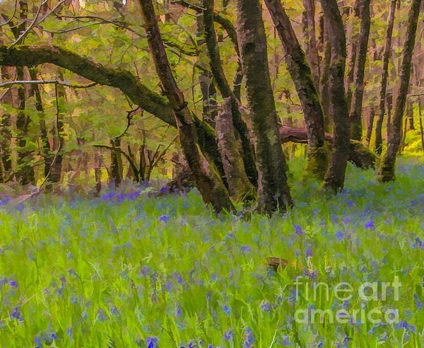 A Scottish woodland carpetted with Bluebells (Hyacinthoides non-scripta) in early May.