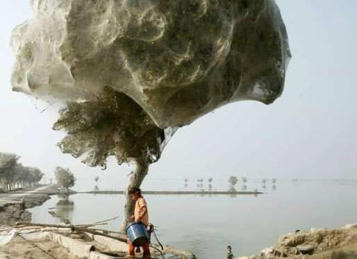 Tree of spiders in Pakistan These spiders sought refuge up a tree to escape flooding in 2010 in Pakistan. Thousands of them made webs in the highest spots they could find.
