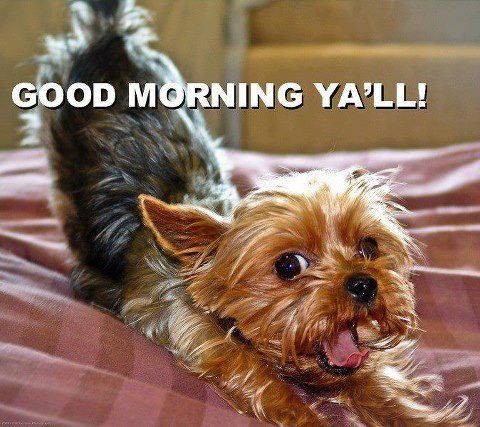 I swear this is the national good morning stretch world wide for Yorkies #yorkshireterrier