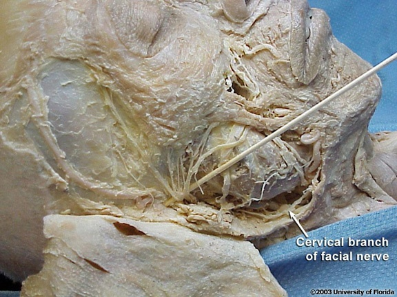 Cervical Branch Of The Facial Nerve Head And Neck