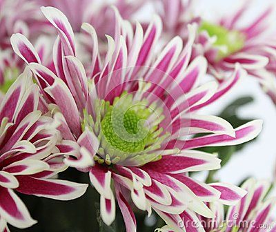 A bunch of beautiful Chrysanthemum