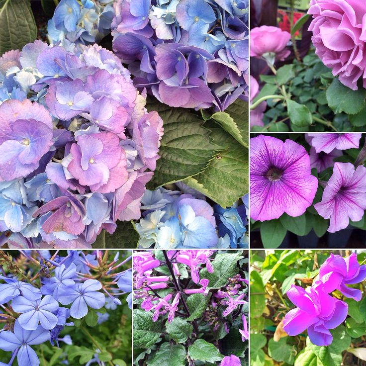 17 best images about gardening on pinterest gardens for Can you get purple roses