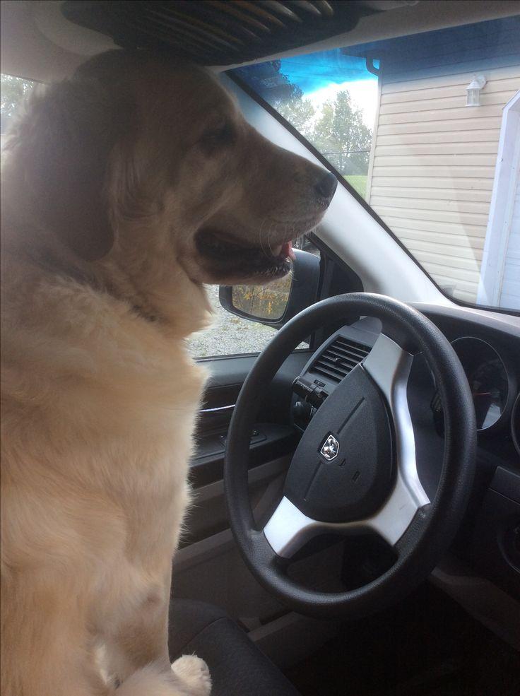 My dog Harley thinks he can drive.....