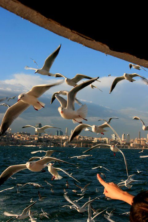 İstanbul seagulls-they are the joy of every ferry ride, they love to catch bread crumbs and simit pieces the passengers throw to them so they travel all the  way from Europe to Asia and Asia to Europe following the ferry..