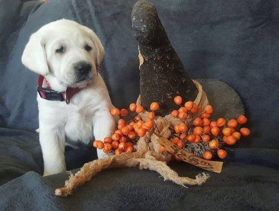 Echo Labrador Retriever Puppy 570486 Puppyspot Labradorretriever Labrador Retriever Puppies Golden Retriever Labrador Labrador Retriever