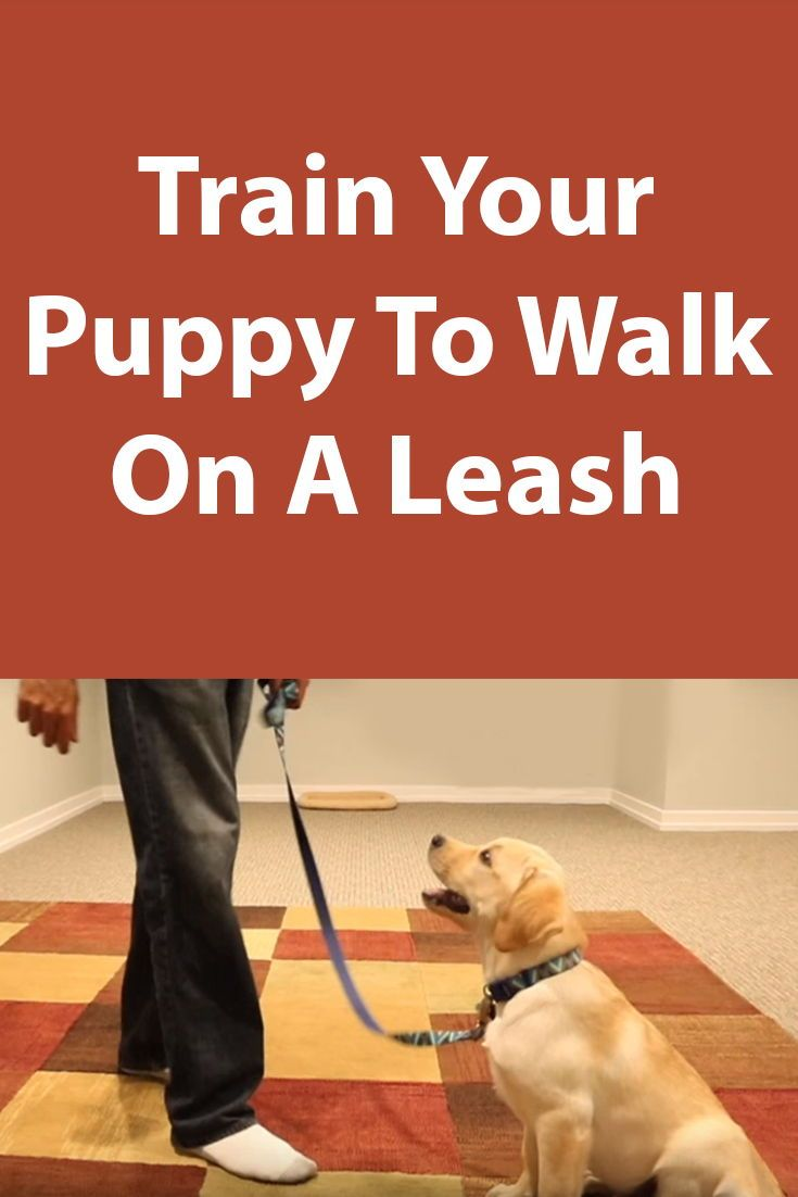 Teaching Your Puppy To Walk On A Leash Dog Training Tips Dog
