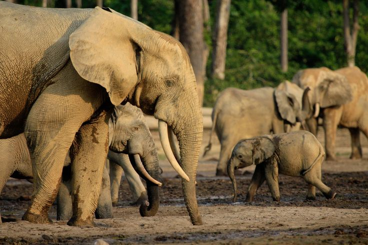 African forest elephant ( Loxodonta africana cyclotis ). ---- 18 Animals Who Really Need Our Help Right Now