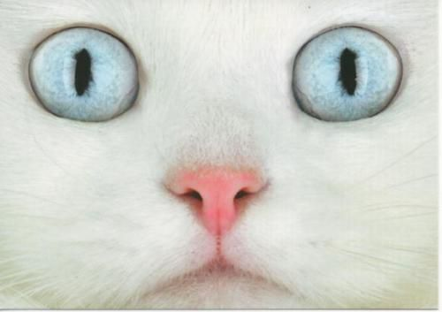 whiteBaby Blue, Cat Eye, Cat Food, Blue Green, Kitty Kat, Hazel Eye, Blue Eye, Big Eye, White Cat
