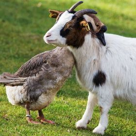 Country living, a goose and goat
