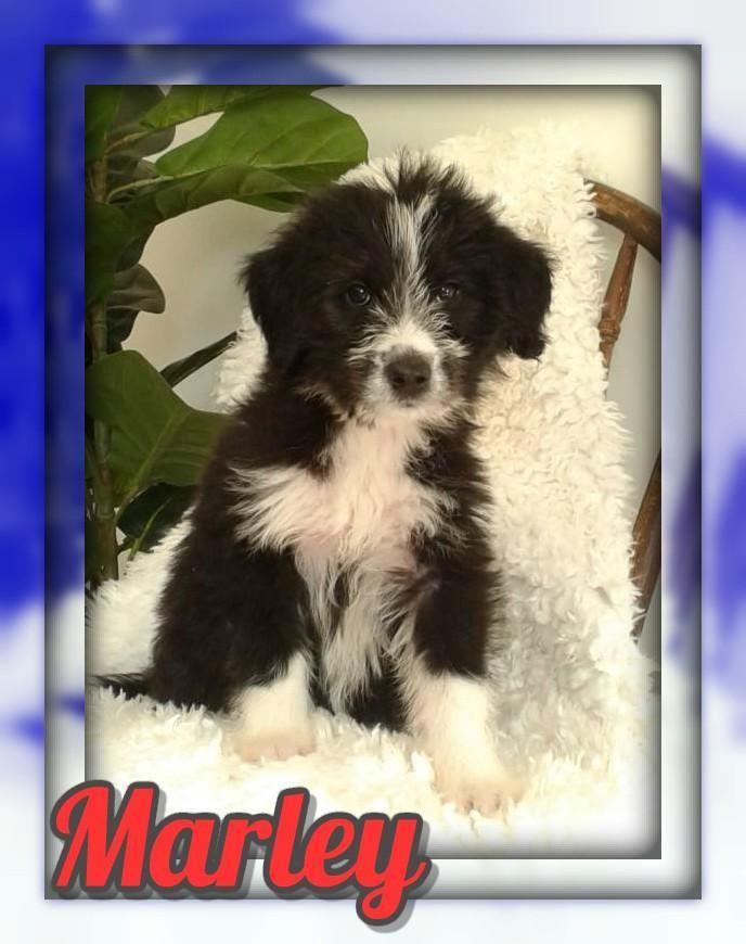 Marley Male Huskypoo 300 Companion Dog I Love To Run Puppies