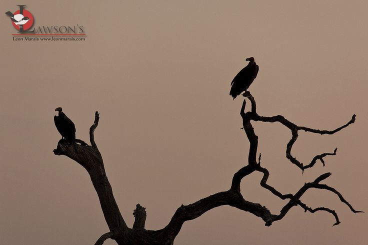 A pair of Lappet-faced Vultures settling down for the night near Satara, cutting a sharp silhouette against the glowing sky.