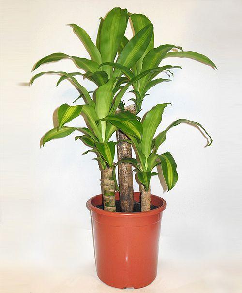 11 best plantas de interior images on pinterest indoor - Plantas ornamentales de interior ...