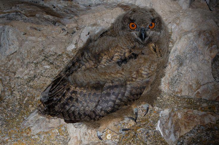 https://flic.kr/p/VpN3mL | Eurasian eagle-owl (Bubo bubo) - Búho real (Bubo bubo)