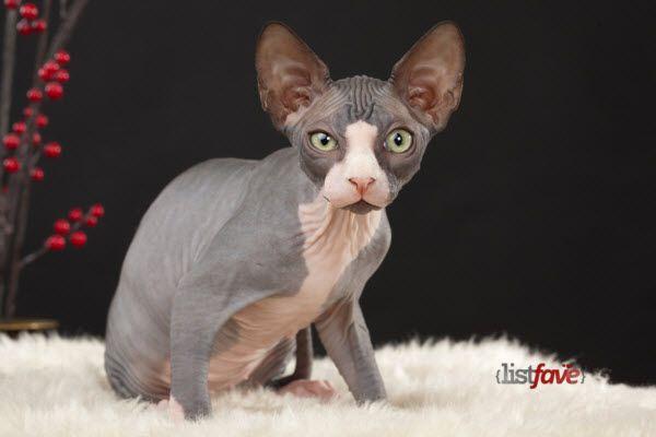 nice Top 10 Pedigree Cat Breeds